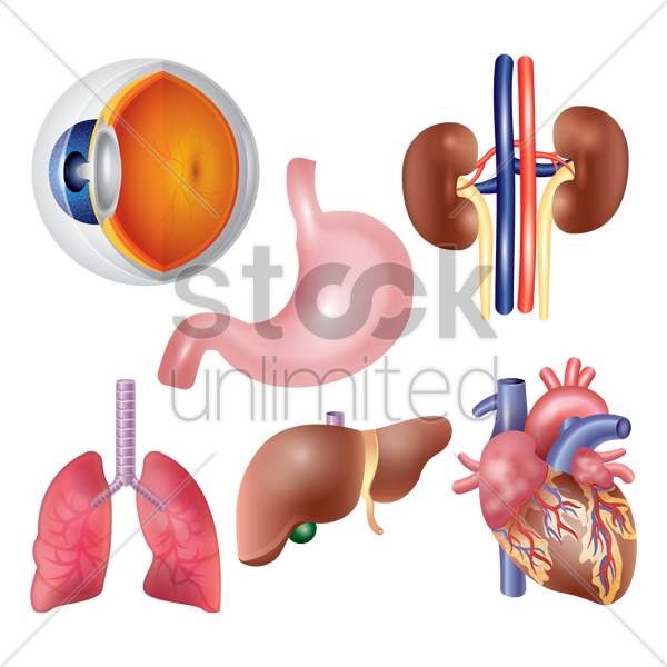a set of human organs vector graphic