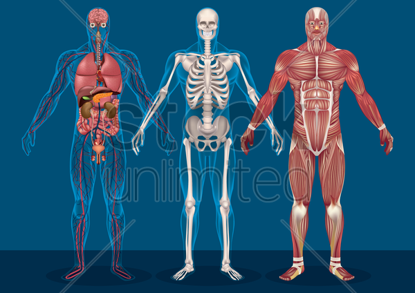 collection of male human anatomy vector graphic