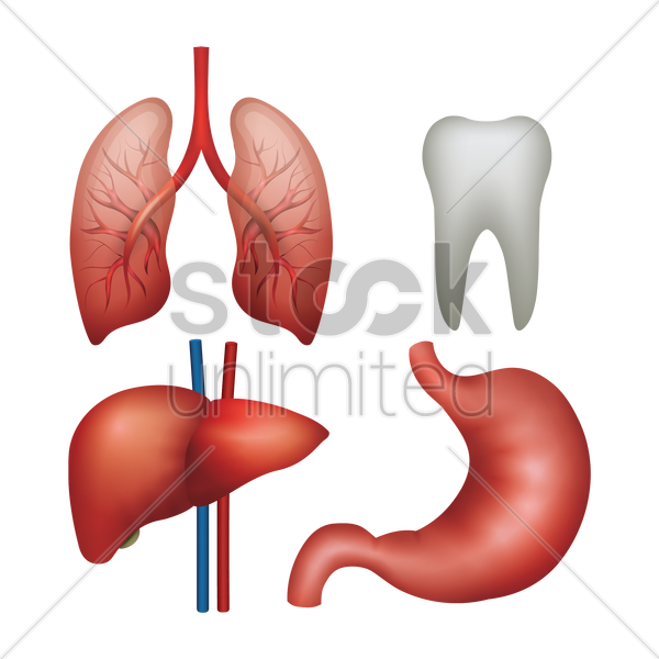 set of internal organs vector graphic