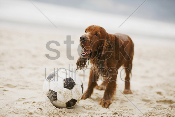 dog playing with football on the beach stock photo