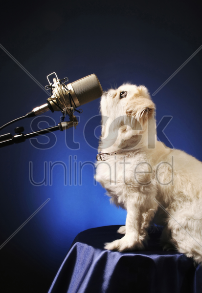 dog standing in front of a microphone stock photo