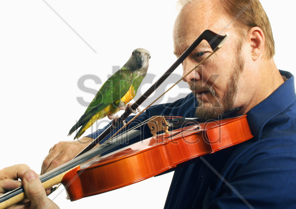 man playing violin with a bird on it stock photo