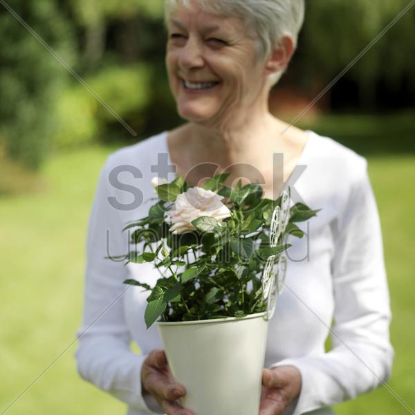 senior lady holding a pot of rose stock photo