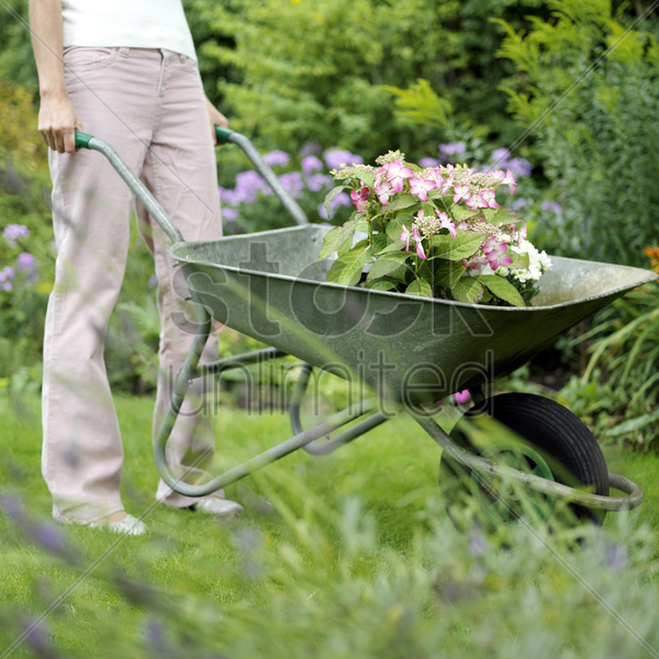 transferring the potted flower using a wheelbarrow stock photo