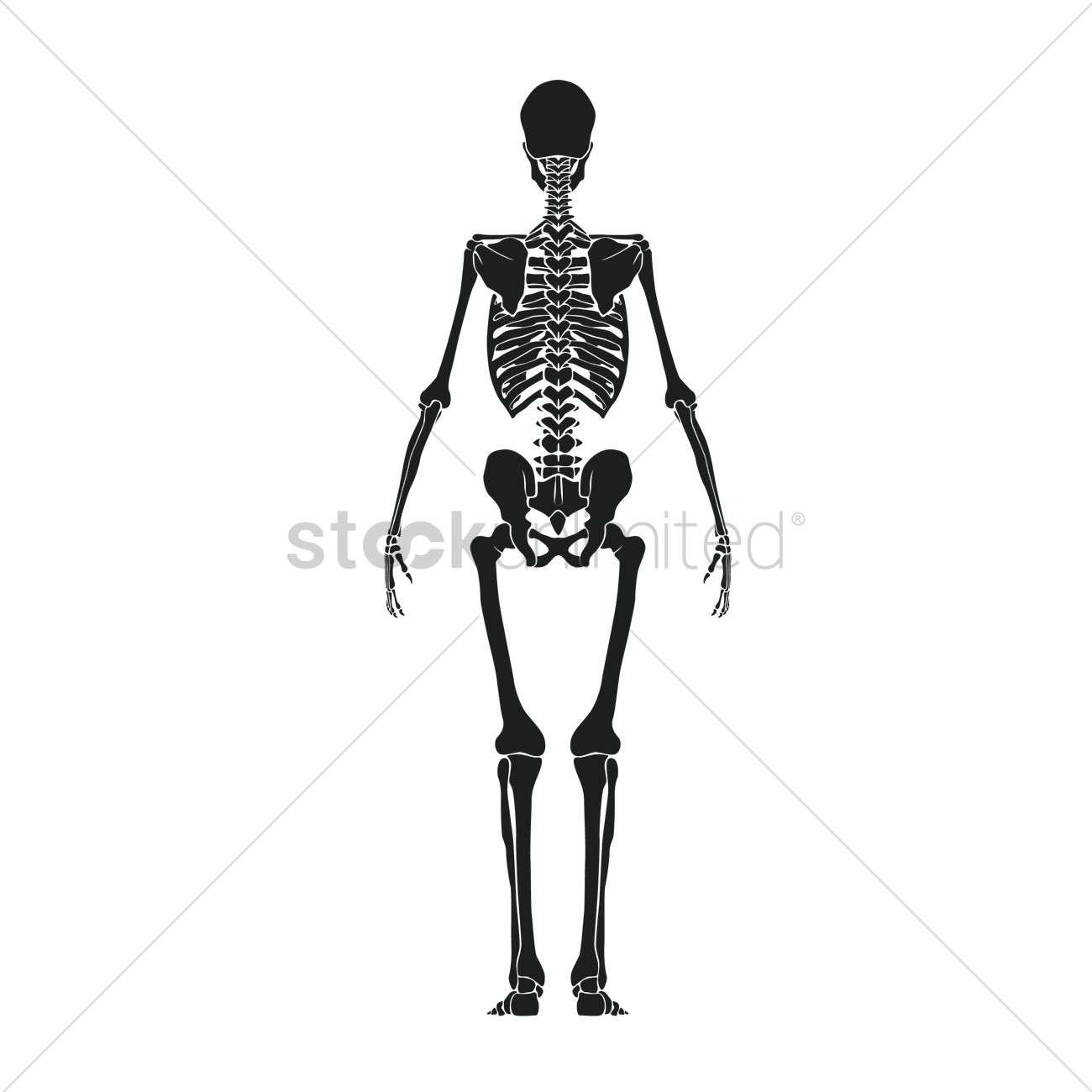 human skeleton vector image - 1516131 | stockunlimited, Skeleton
