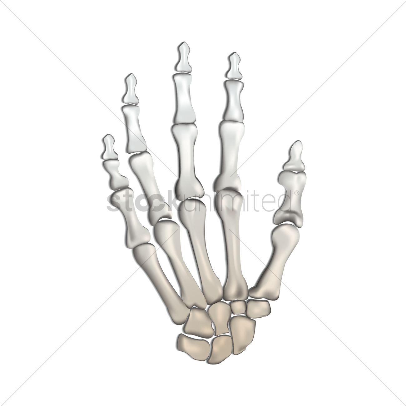 Bones Of Human Hand Vector Image