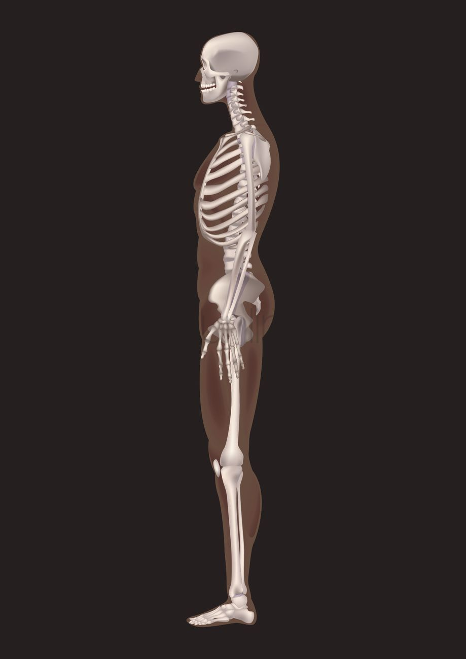 human skeleton side view vector image - 1585226 | stockunlimited, Skeleton