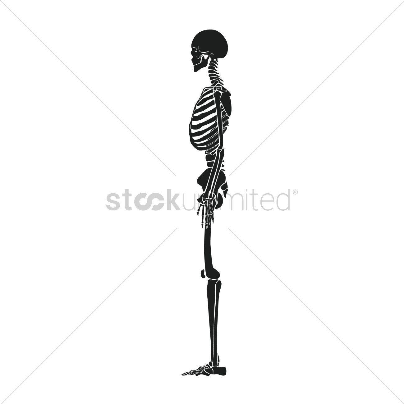 side view of human skeleton vector image - 1516129 | stockunlimited, Skeleton